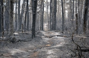 burned-trees-in-the-pine-barrens